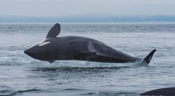 """美国6吨虎鲸演绎轻功""""水上漂"""""""