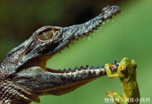 """亚马逊河流的""""顶级杀手"""",食人鱼们躲着它,鳄鱼与它同归于尽"""