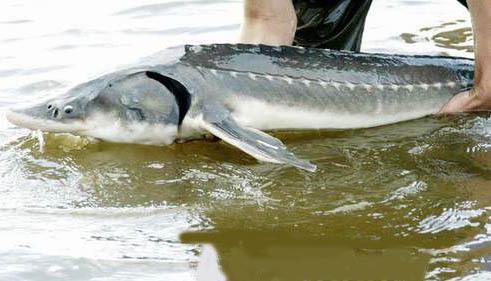 鳇鱼是不是保护动物
