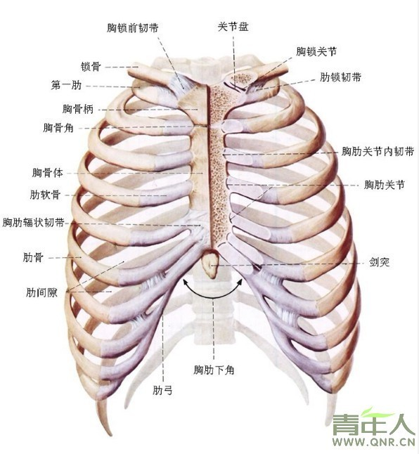 胸口肋骨交叉结构是什么样子