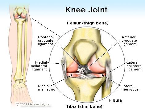 半月板结构和功能的特点决定了它是膝关节内最易损伤