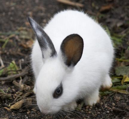 宠物小兔子怎么喂日常如何护理? 兔子的居住环境要卫生
