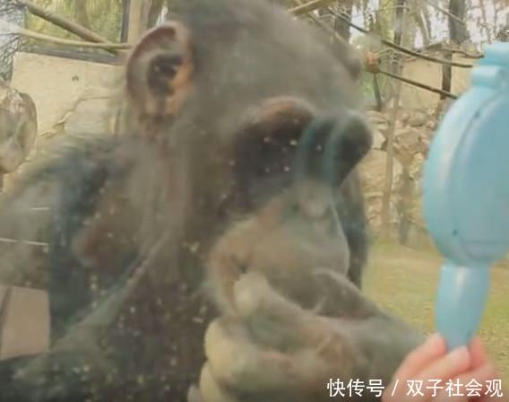 女子动物园给大猩猩照镜子,接下来一幕,把美女恶心吐了