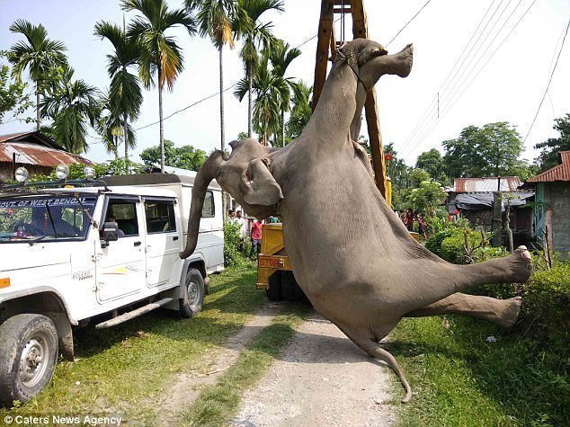 【转】北京时间     大象稻田漫步触电身亡 起重机转移尸体 - 妙康居士 - 妙康居士~晴樵雪读的博客