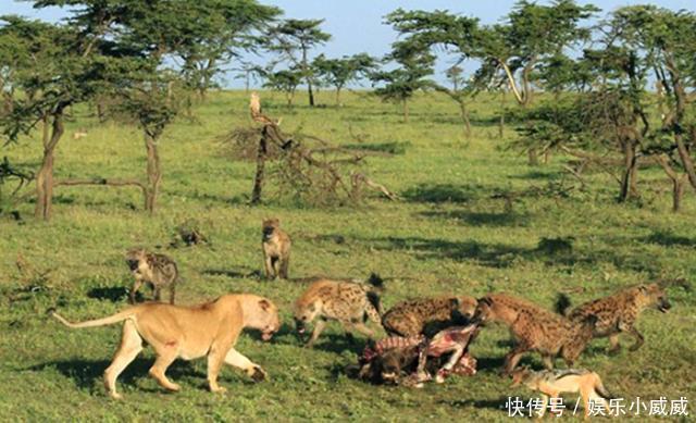 母狮想凭借自己草原霸主的身份吓退鬣狗群,却没想到落得这下场!
