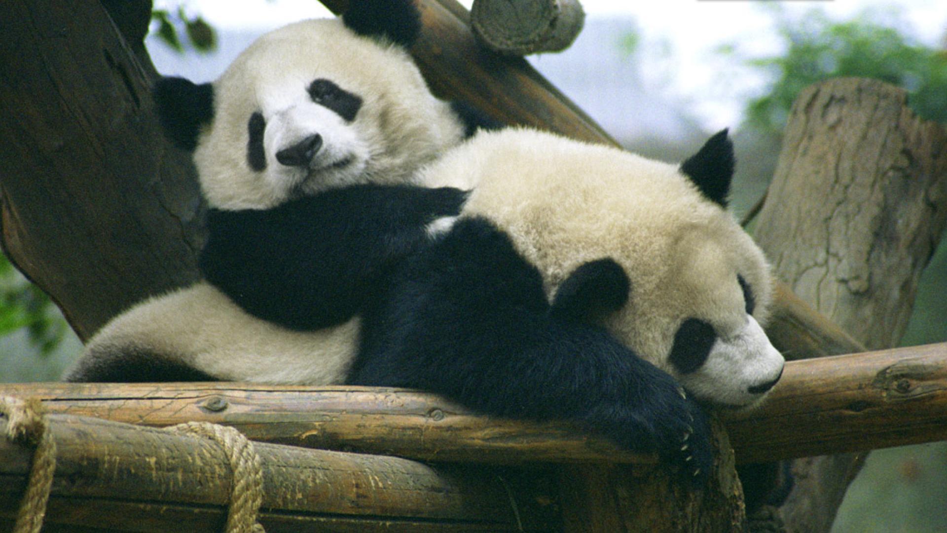 广州闹市一购物中心内欲建动物园 饲养大熊猫等