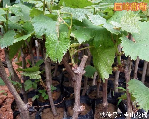 葡萄硬枝扦插育苗的关键技术