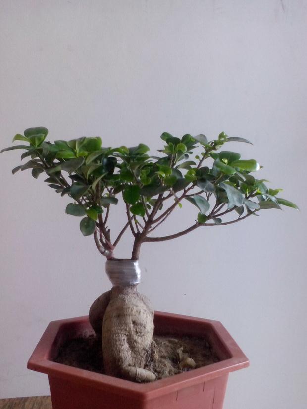 3榕树盆景养护