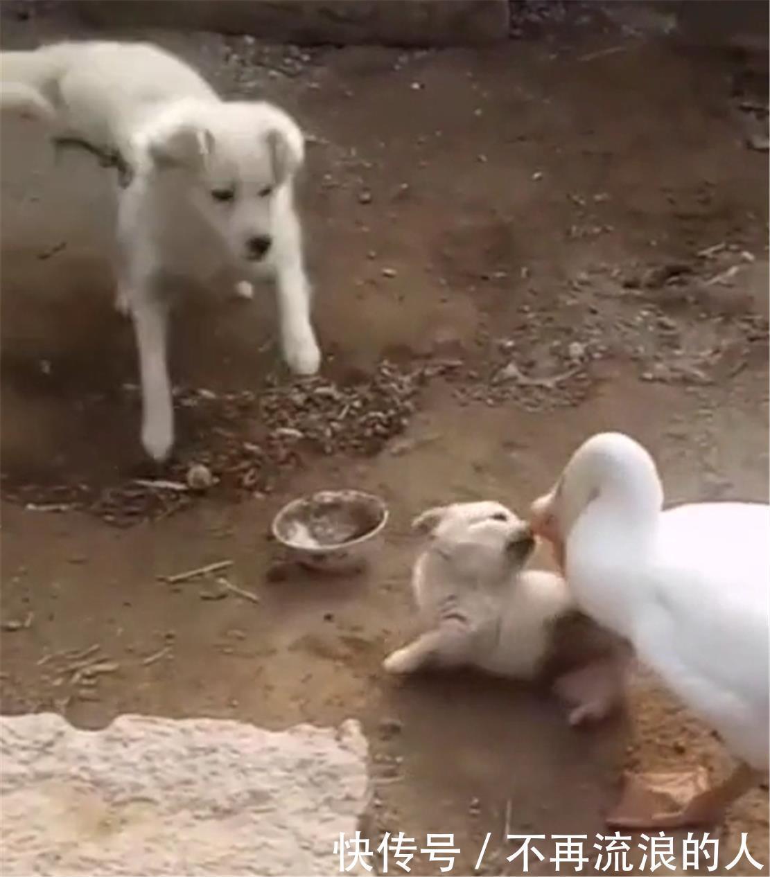 大鹅欺负狗崽,狗崽痛得满地打滚儿,狗妈的举动让人暖心不已……