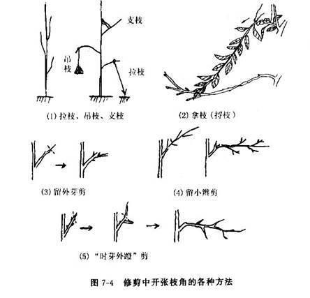 桃树修剪技术图片