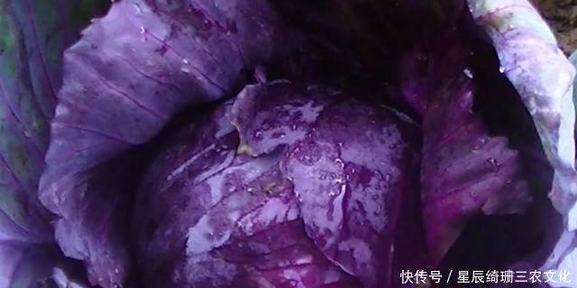 春春说种植,关于紫甘蓝的种植技术与管理色拉油销售合同图片