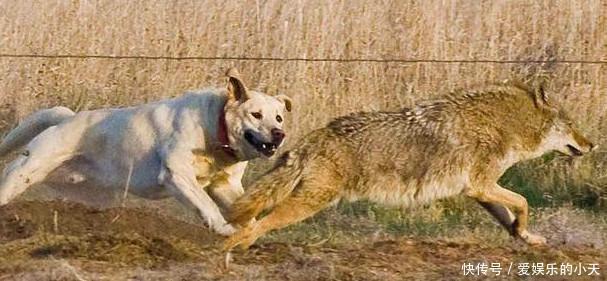 拉布拉多遇到野狼,顷刻间变成勇敢的战士!