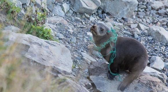 海豹被渔网勒住脖子 睁大眼睛似在求救